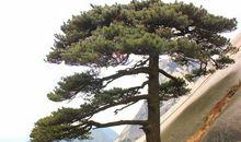 关于松树的座右铭