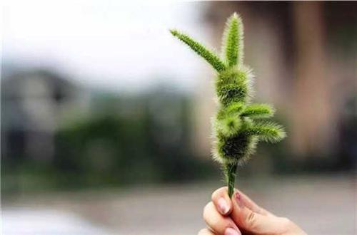 狗尾草是路上的一种野草