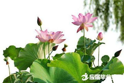 形容莲花的句子